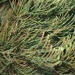Sequoiadendron giganteum, a dimora dal 1996 (foto 2015)