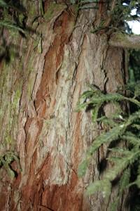 Sequoia sempervirens, a dimora dal 1996 (foto 2015)