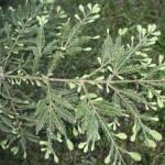 Sequoia sempervirens, a dimora dal 1996 (foto 05-2015)