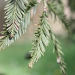 Sequoia sempervirens, a dimora dal 1996 (foto 04-2016)