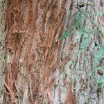 Sequoia sempervirens, a dimora dal 1996 (foto 05-2016)
