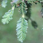 Sequoia sempervirens, a dimora dal 1996 (foto 06-2016)