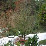 Taxodium distichum, a dimora dal 1996 (foto 12-2010)