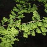 Taxodium distichum, a dimora dal 1996 (foto 2015)