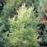 Taxodium distichum, a dimora dal 1996 (foto 09-2015)