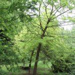 Taxodium distichum, a dimora dal 1996 (foto 05-2016)