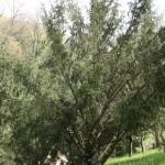 Taxus baccata, a dimora dal 1996 (foto 04-2016)