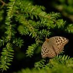 Taxus baccata, a dimora dal 1996 (foto P. Bettoni 2010)