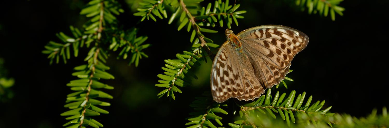 Taxus baccata, a dimora dal 1996 (foto 2015)