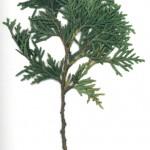 Thuja occidentalis danica
