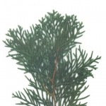 Thuja occidentalis emeraude