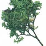 Thuja occidentalis tiny timm