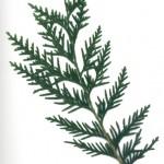 Thuja plicata atrovensis
