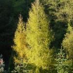 Larix decidua, a dimora dal 1996 (foto P. Bettoni 2010)
