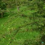 Cedrus brevifolia, a dimora dal 2013 (foto 04-2015)