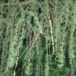 Larix decidua, a dimora dal 1996 (foto 05-2015)