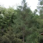 Larix decidua, a dimora dal 1996 (foto 2015)