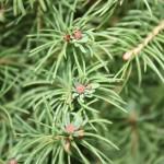 Picea glauca conica albertiana, a dimora dal 2001 (foto settembre 2015)