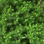 Picea glauca conica albertiana, a dimora dal 2001 (foto aprile 2015)