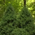 Picea glauca conica albertiana, a dimora dal 2001 (foto giugno 2015)