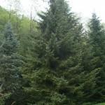 Picea omorika, a dimora dal 1996 (foto 05-2015)