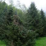 Picea omorika, a dimora dal 1996, corona schianatata dopo la nevicata del 2015 (foto 05-2015)