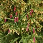 Picea orientalis, a dimora dal 1996 (foto 2010)