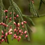 Picea orientalis, a dimora dal 1996 (foto V. Berretti 04-2015)