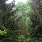 Picea orientalis, a dimora dal 1996 (foto 05-2015)