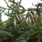 Picea orientalis, a dimora dal 1996 (foto giugno 2015)