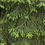 Picea orientalis, a dimora dal 1996 (foto 06-2015)