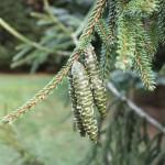 Picea orientalis, a dimora dal 1996 (foto settembre 2015)