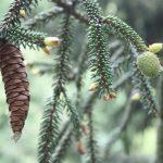 Picea orientalis, a dimora dal 1996 (foto 05-2016)