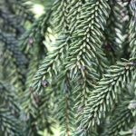 Picea orientalis, a dimora dal 1996 (foto 06-2016)