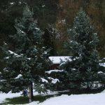 Picea pungens, a dimora dal 1996 (foto 12-2010)
