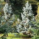 Picea pungens, a dimora dal 1996 (foto P. Bettoni 2010)