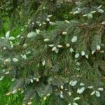 Picea pungens, a dimora dal 1996 (foto 05-2015)