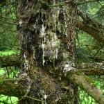 Picea pungens, a dimora dal 1996 (foto 2015)