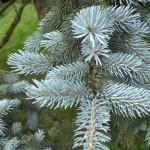 Picea pungens, a dimora dal 1996 (foto 06-2015)