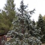 Picea pungens, a dimora dal 1996 (foto 09-2015)