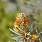 Picea pungens, a dimora dal 1996 (foto Enrico Beduzzi 06-2016)