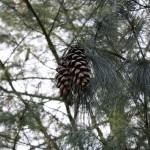 Pinus strobus, a dimora dal 1996 (foto 03-2016)