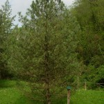 Pinus cembra, a dimora dal 1996 (foto 2015 - altezza 5,5 metri)