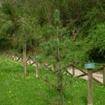 Pinus cembra, a dimora dal 2010 (foto 2015)