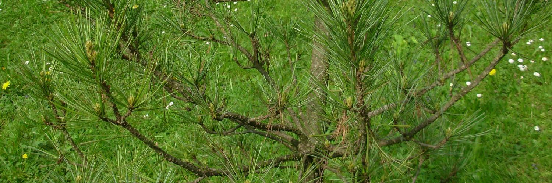 Pinus cembra, a dimora dal 2010, foto 2015