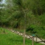 Pinus halepensis, a dimora dal 2010 (foto 2015)