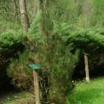 Pinus leucodermis, a dimora dal 2011 (foto 04-2015)