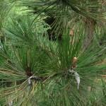 Pinus leucodermis, a dimora dal 2009 (foto 04-2015)