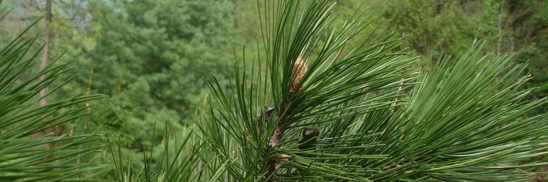 Pinus leucodermis, a dimora dal 2009, foto 2015