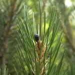 Pinus leucodermis, a dimora dal 2009 (foto 06-2015)